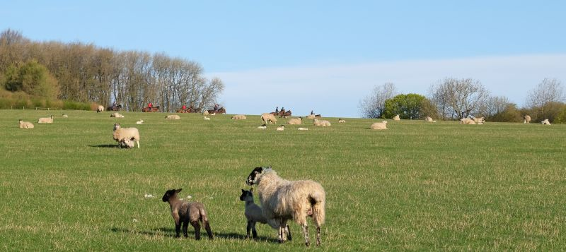A  field of sheep and horses.