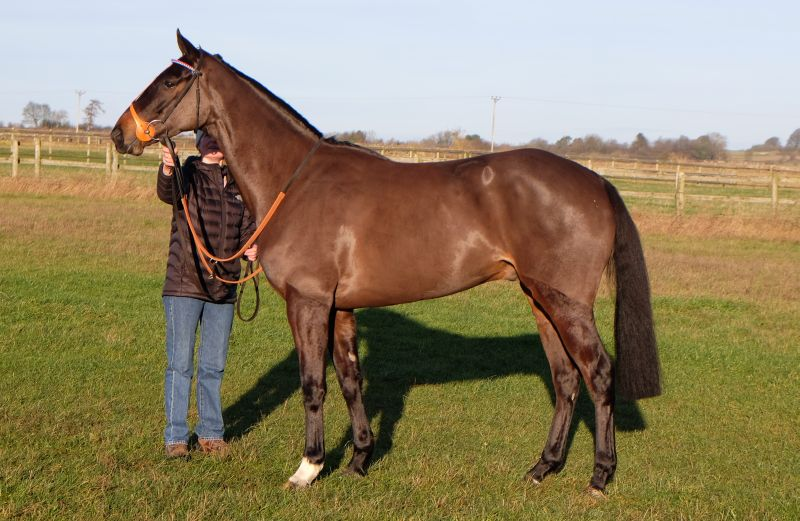 Lot 24 at Brightwells. A 3 year old gelding by Yeats out of Maracana.. He is a half brother to 4 times winner Mrs Peachey