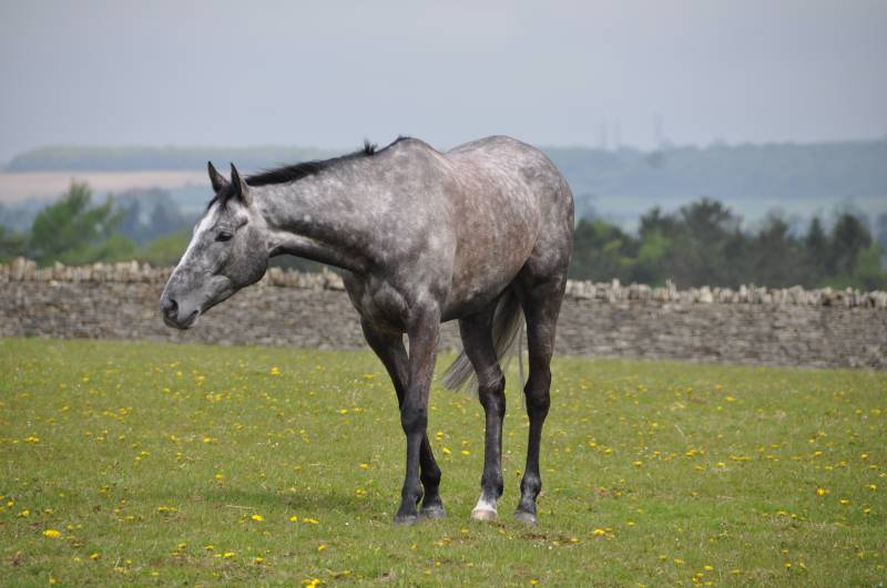 Wednesdays Uttoxeter winner Silver Eagle relaxing