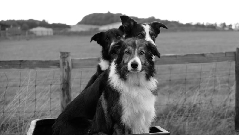Gordon Fairbairn's fine looking sheep dogs..