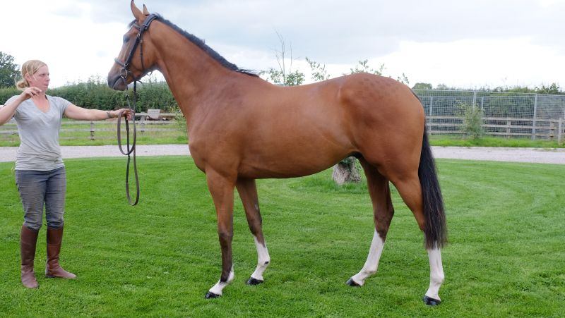 Lot 354... 3 year old gelding by Authorized out of Azalee