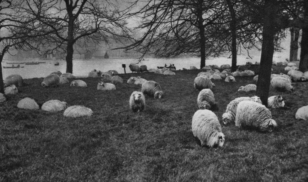 Hyde Park Sheep
